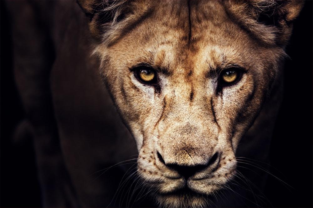 Interiør-Lion
