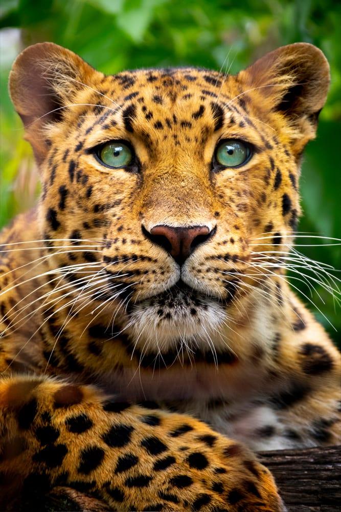 Interiør-Leopard