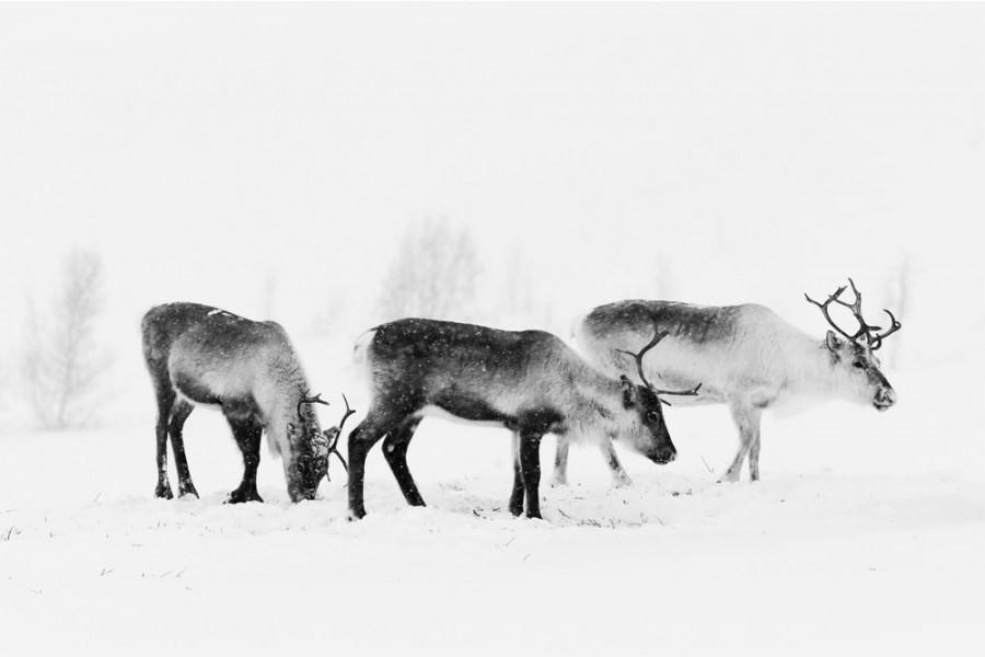 Interiør-Reinsdyr