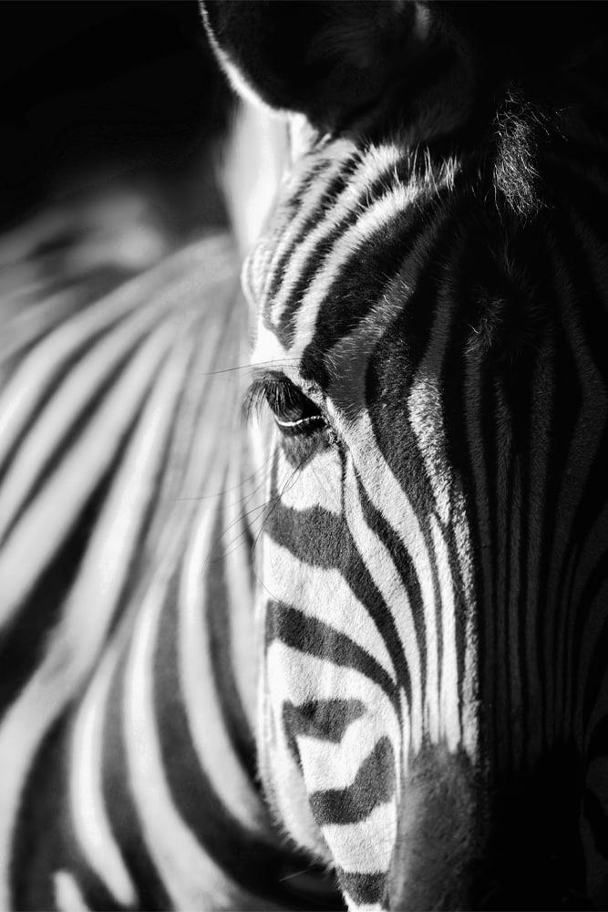 Interiør-Zebra
