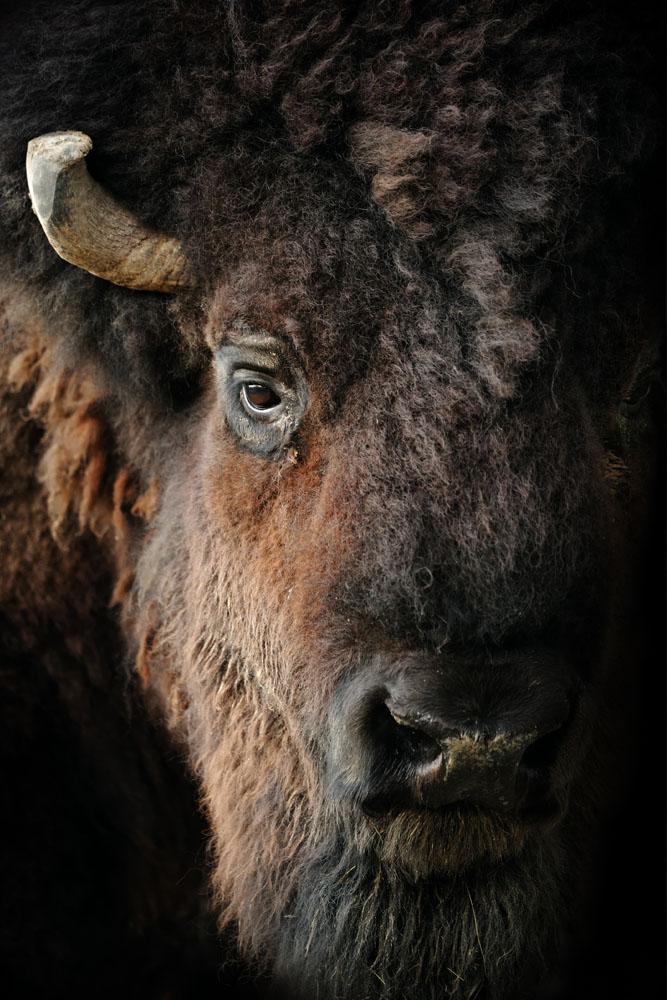 Interiør-American-bison