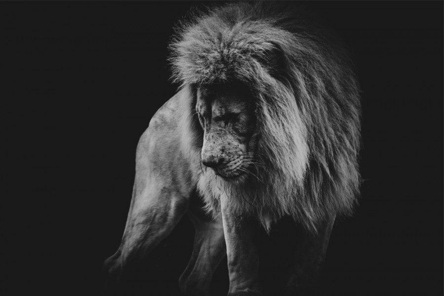 Interiør-Lion-In-Black&white